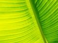 Banane gr_n