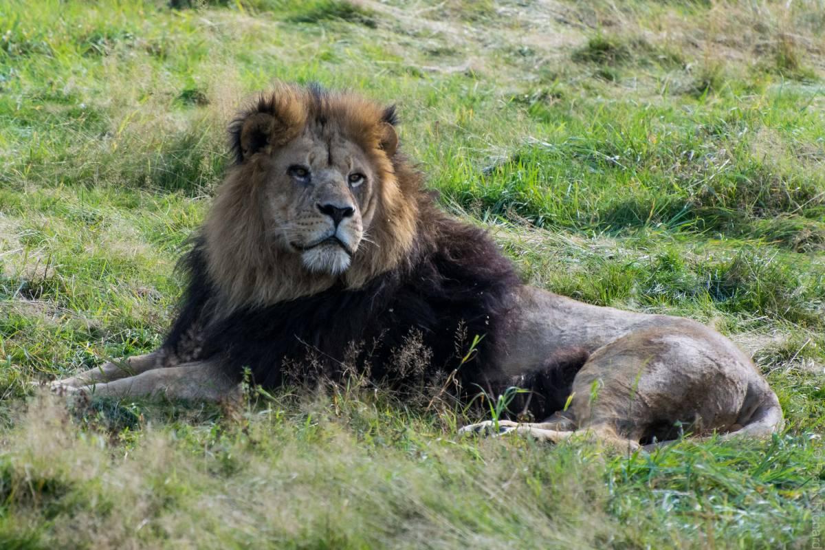 wachender Löwe