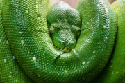 schlafende Schlange