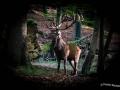 Vierzehnender im Wald
