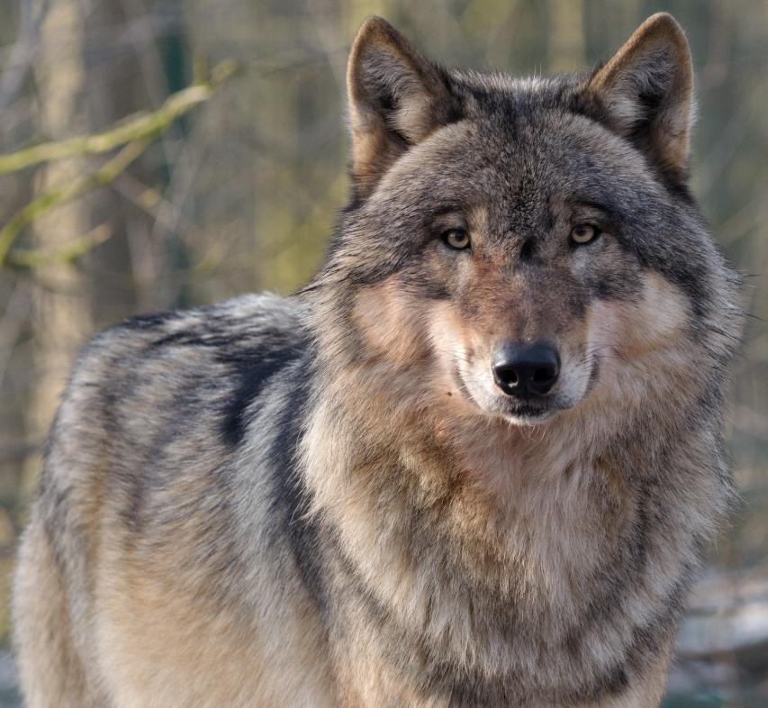 Wolfscenter Doerverden (2)