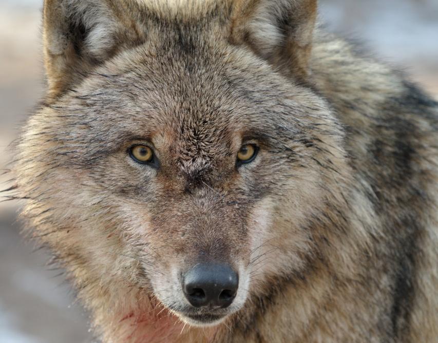wolfscenter Doerverden (3)