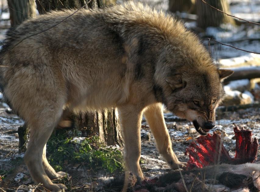 wolfscenter Doerverden (4)