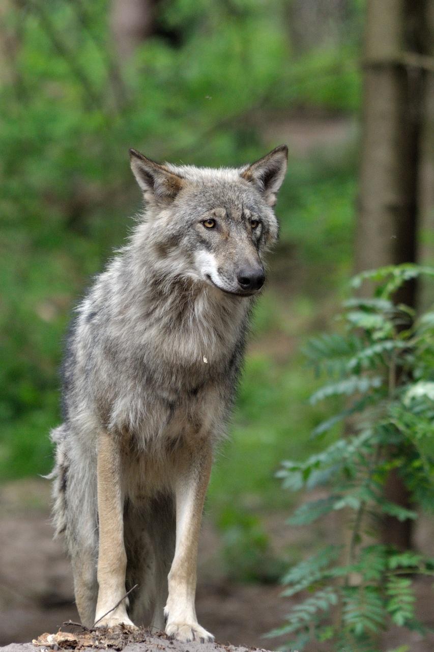 wolfscenter Doerverden (6)
