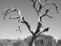 11 - Abgestorbener Baum 2 (20050922_australien_096_korrigiert2_tonemapped_soft3_greyscale_40prozent)